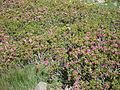 Ultime zize(rododendri) sui monzoni - panoramio.jpg