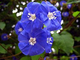 Unidentified blue flower