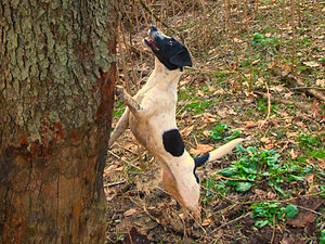 Treeing - A dog treeing.