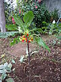 Unknown plant - Madeira - DSC08017.JPG