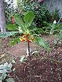 Unknown plant - Madeira - DSC08017.JPG