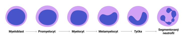 Vývoj neutrofilů v kostní dřeni.