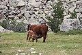 Vacas Aigüestortes.jpg