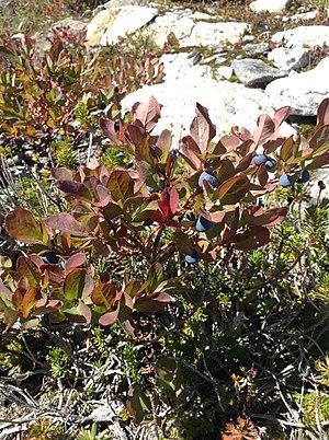 Vaccinium deliciosum - Vaccinium deliciosum full plant