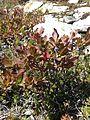 Vaccinium deliciosum Full Plant.jpg