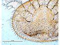 Varroa destructor female ventral.jpg