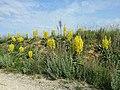 Verbascum speciosum sl34.jpg