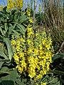 Verbascum speciosum sl46.jpg