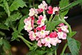Verbena canadensis Texas Form 0zz.jpg