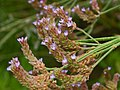 Verbenaceae - Verbena bonariensis-1 (8303608649).jpg