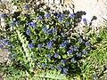 Veronica alpina002.jpg