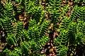 Veronica mooreae in Christchurch Botanic Gardens 01.jpg