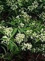 Viburnum henryi (peganum) 001.jpg