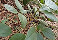 Viburnum rigidum kz2.jpg