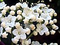 Viburnum tinus FlowerCloseup 2009March19 SierraMadrona.jpg