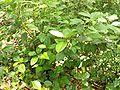 Viburnum tinus leaves.jpg