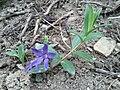 Vinca herbacea sl5.jpg