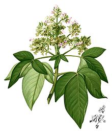 Vitex pinnata Blanco2.427-cropped.jpg