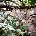 Vlinder JIHI 013.jpg