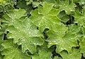 Vrouwenmantel (Alchemilla mollis) d.j.b 01.jpg