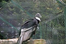 Vultur gryphus -Lotherton Hall, Aberford, near Leeds, England-8a.jpg
