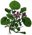 WWB-0018-004-Viola odorata-crop.png