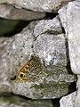 Wall Butterfly (24527590371).jpg