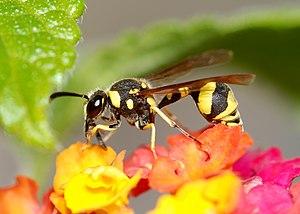 Eumenes (wasp) - Image: Wasp November 2009 1