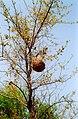 Weaver nest (305868492).jpg