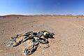 Welwitschie podivná (Welwitschia mirabilis), NP Skeleton Coast - panoramio.jpg