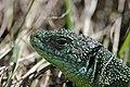 Western Green Lizard - Lacerta bilineata (16820225160).jpg