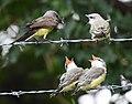 Western Kingbird (fledges and parents) (42900609514).jpg
