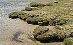 Wetland grass at the edge of Gullmarsvik mudflats 2.jpg