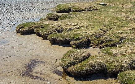 Wetland grass at the edge of Gullmarsvik mudflats 2.jpg