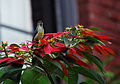 White-bellied sunbird on Poinsettia (8210091932).jpg