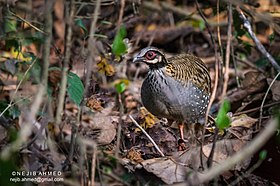 White-cheeked partridge (Arborophila atrogularis).jpg