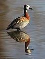 White-faced Whistling Duck, Dendrocygna viduata, at Waterfall Estate, Gauteng, South Africa (35295450063).jpg