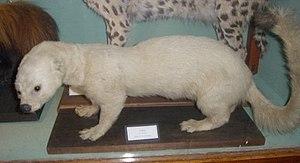 Tayra - A rare white tayra at Ipswich Museum, Ipswich, Suffolk, England