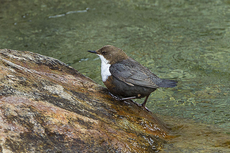 File:White-thraoted Dipper - Aosta Valley - Italy S4E3468 (16864636648).jpg