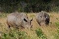 White Rhinoceros (2875199402).jpg