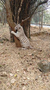 White Tiger @ Bannerghatta.jpg