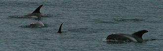 White-beaked dolphin - Off the coast of Iceland