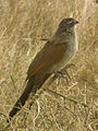 White browed coucal in Tanzania 3139 cropped Nevit.jpg