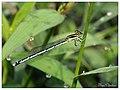 White dartlet female (14956798948).jpg