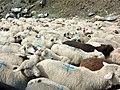 White sheep field.jpg