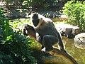 Whitecheeked gibbon.jpg