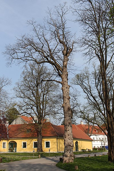 File:Wien-Penzing - Naturdenkmal 192 - Bergahorn (Acer pseudoplatanus).jpg