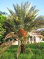 Wild Data Palm-Yucatán.jpg
