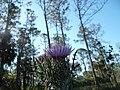 Wild Flower - panoramio (2).jpg