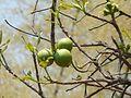 Wild Guava (2407678608).jpg